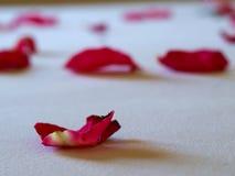As pétalas cor-de-rosa Fotos de Stock