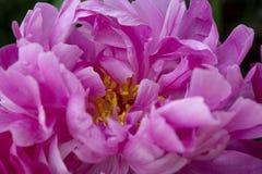 As pétalas cor-de-rosa e dobradas de uma flor da peônia criam um teste padrão abstrato da complexidade e da beleza foto de stock royalty free