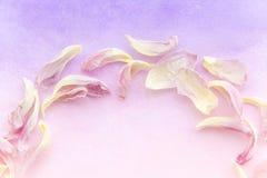 As pétalas cor-de-rosa macias da tulipa no inclinação roxo colorem o fundo Parte de um quadro redondo feito das pétalas da tulipa Foto de Stock Royalty Free
