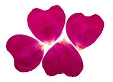 As pétalas cor-de-rosa pressionadas e secadas de um selvagem aumentaram Isolado Foto de Stock