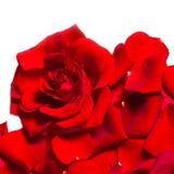 As pétalas cor-de-rosa vermelhas textered o fundo isolado no backgroun branco Foto de Stock Royalty Free