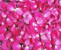 As pétalas da cor-de-rosa levantaram-se Fotos de Stock