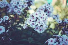 As pétalas delicadas da hortênsia florescem perfeito para o casamento Imagens de Stock Royalty Free