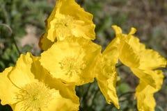 As pétalas e os estames florescem no verão fotos de stock royalty free