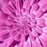 As pétalas magentas cor-de-rosa da espiral da flor da margarida da camomila abstraem o fundo do teste padrão do efeito do fractal Fotografia de Stock Royalty Free