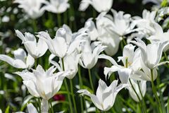 As p?talas da tulipa estendem em arcos longos Tulipa de floresc?ncia do l?rio imagem de stock royalty free