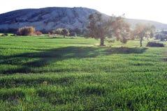 As paisagens de Chipre, oliveiras na natureza cercaram pela grama verde e por montes pequenos todos parte externa áreas pequenas  fotos de stock