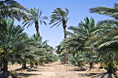 As palmas de tâmara aproximam Eilat, Israel Fotos de Stock Royalty Free