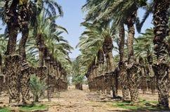 As palmas de tâmara aproximam Eilat, Israel fotografia de stock royalty free