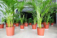 As palmas e outras plantas em uns potenciômetros estão no salão Foto de Stock Royalty Free
