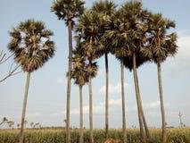 As palmeiras Imagens de Stock Royalty Free