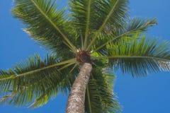 As palmeiras do coco na opinião de perspectiva do céu azul fotografia de stock
