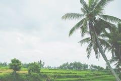 As palmeiras estão acima do terraço do arroz Fotos de Stock