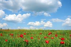 As papoilas florescem o prado e o céu azul com nuvens Fotografia de Stock Royalty Free