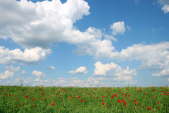 As papoilas florescem o prado e o céu azul com nuvens Imagem de Stock Royalty Free