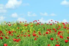 As papoilas vermelhas florescem o prado e o céu azul com nuvens Imagem de Stock Royalty Free