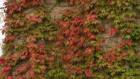 As paredes de tijolo cobertas com a hera vermelha e verde saem, outono na cidade, parque vídeos de arquivo