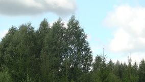 As partes superiores das árvores contra o céu Coroas de árvores verdes video estoque