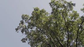 As partes superiores das árvores contra o céu Coroas de árvores verdes Vista do céu através das árvores de baixo de video estoque