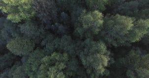 As partes superiores das árvores verdes na floresta a câmera caem para baixo O vento que farfalha os ramos das árvores poderosas video estoque