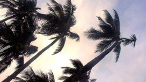 As partes superiores das palmas de coco dobram o tufão forte. Fotos de Stock Royalty Free