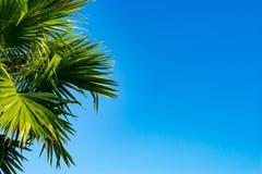 As partes superiores das palmeiras em um céu azul claro Fotografia de Stock Royalty Free