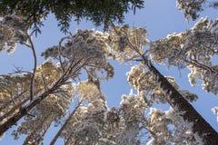 As partes superiores de árvores cobertos de neve, vista de baixo para cima, contra um céu azul fotos de stock