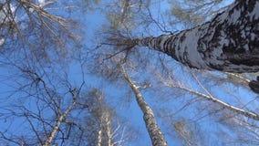 As partes superiores de árvores de vidoeiro balançam do vento na mola adiantada, folhas começam a florescer video estoque