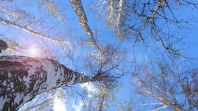 As partes superiores de ?rvores de vidoeiro balan?am do vento na mola adiantada, folhas come?am a florescer video estoque