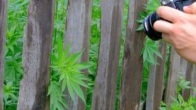 As partes superiores do cânhamo verde colam para fora atrás de uma cerca de madeira velha Uma mão na roupa da camuflagem rasga fo filme