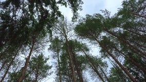 As partes superiores do pinho que balançam no vento vídeos de arquivo