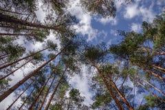 As partes superiores dos pinheiros contra o céu azul claro Fotos de Stock Royalty Free