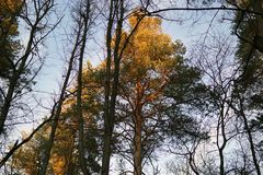 As partes superiores dos pinhos da floresta nos raios do por do sol imagem de stock