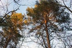 As partes superiores dos pinhos da floresta nos raios do por do sol fotos de stock