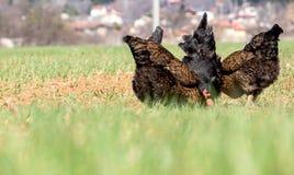 As partes traseiras bonitos da galinha imagens de stock