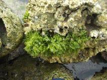 As pedras cobriram com a alga na costa da ilha da tartaruga na Venezuela foto de stock