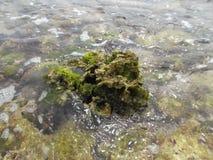 As pedras cobriram com a alga na costa da ilha da tartaruga na Venezuela fotos de stock
