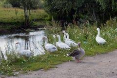 As penas ajardinam o la animal do ganso dos pássaros de água da natureza do pássaro dos animais selvagens da grama verde de pato  fotos de stock