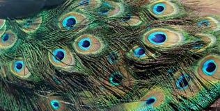 As penas do pavão Fotos de Stock