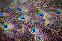 As penas do pavão foto de stock