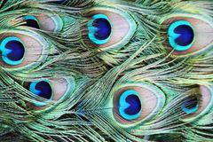 As penas do pavão imagem de stock