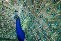 As penas do pavão Imagens de Stock Royalty Free