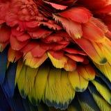 As penas inchado bonitas do escarlate da arara repetem mecanicamente o pássaro, cor Foto de Stock Royalty Free