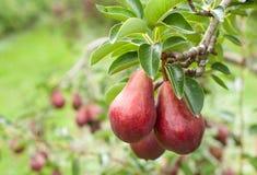 As peras de Bartlett vermelhas fecham-se acima em um pomar Foto de Stock