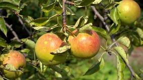 As peras frutificam na árvore com as folhas do verão, luz solar, fora vídeos de arquivo