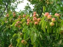 As peras selvagens amadurecem Imagem de Stock Royalty Free