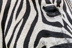 As pestanas do olho da zebra listraram o fundo preto e branco dos testes padrões Fotos de Stock