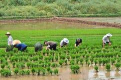 As plântulas chinesas do arroz da transplantação Foto de Stock