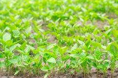 As plântulas da pimenta verde na estufa, aprontam-se para a transplantação no campo, cultivando, agricultura, vegetais, agricu ec imagem de stock