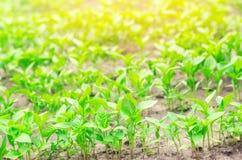 As plântulas da pimenta verde na estufa, aprontam-se para a transplantação no campo, cultivando, agricultura, vegetais, agricu ec fotografia de stock